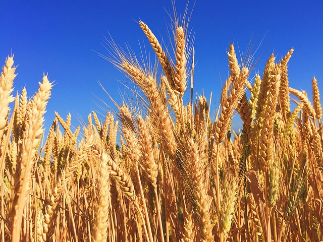 wheat growing in a field